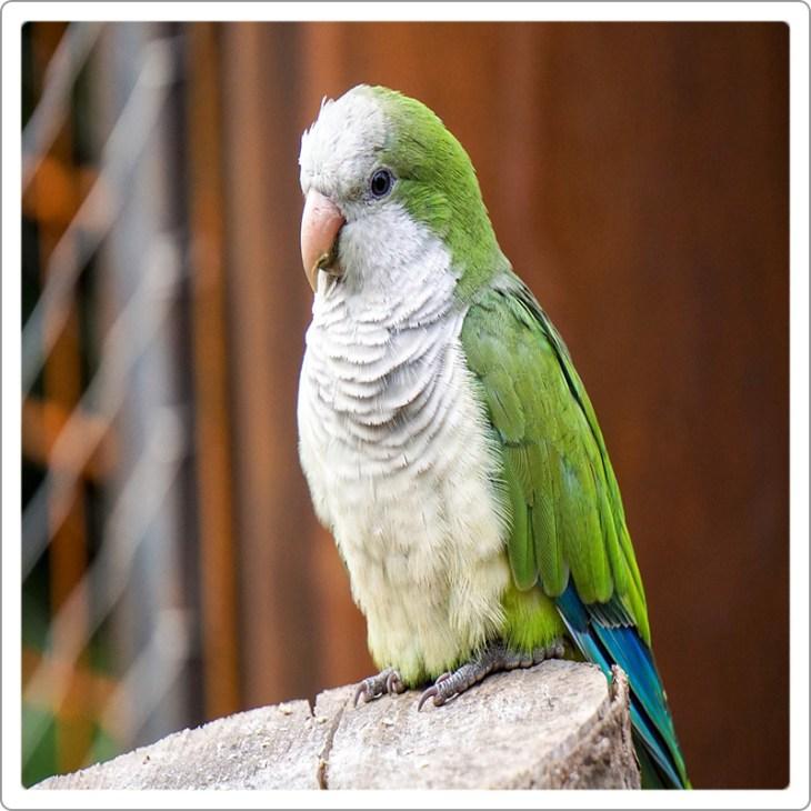 Quaker parrot green