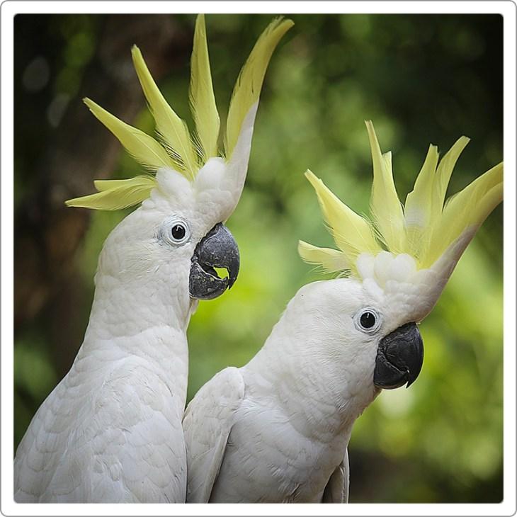 Two Sulphur-crested cockatoo looking toward camera