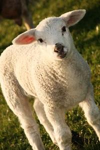 agnello