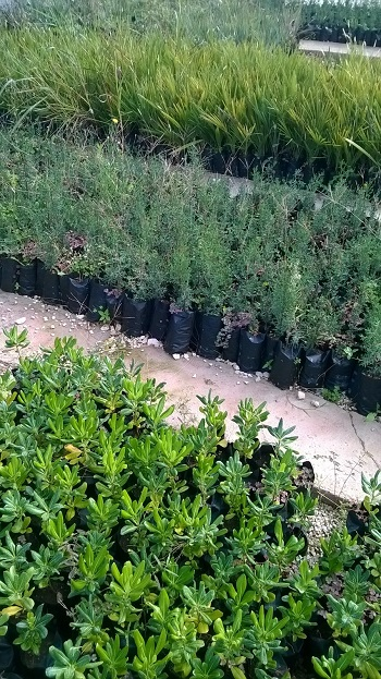 piante alberi gibellina  3