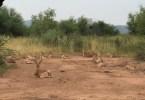 cervatillos Pilanesberg