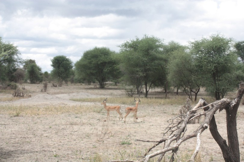 Impalas Taranguire