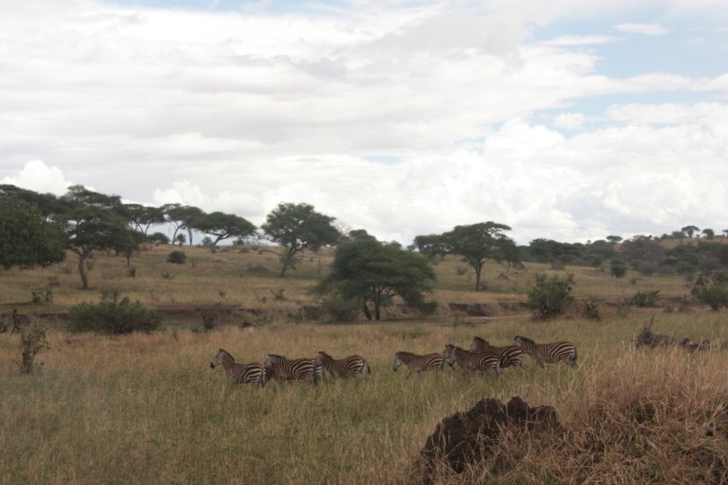 cebras Taranguire