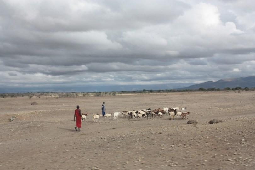 Masais pastores