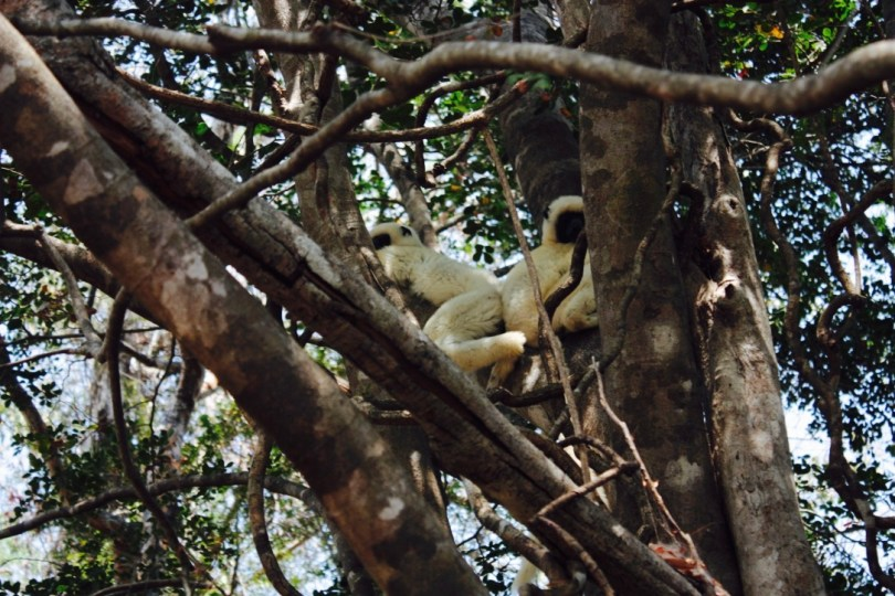 Lemures Madagascar