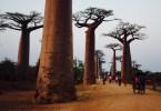 La Avenida de los Baobabs