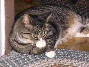 Gato vengantivo