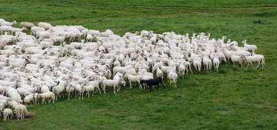moutons suiveux troupeaux