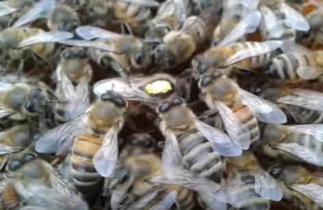 порода пчел итальянская