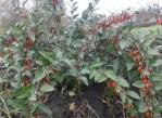 Черенки плодовых для прививки, Саженцы годжи клубники малины