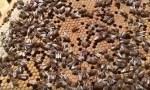 Какова причина зимнего расплода у пчел