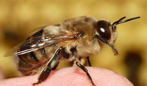 Трутень в пчелиной семье