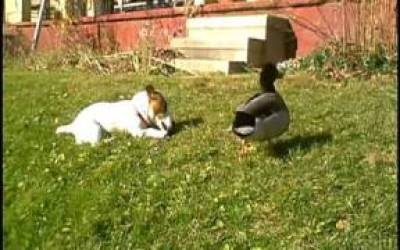 Jack Russell And A Duck Run Amok - Moto And Murray