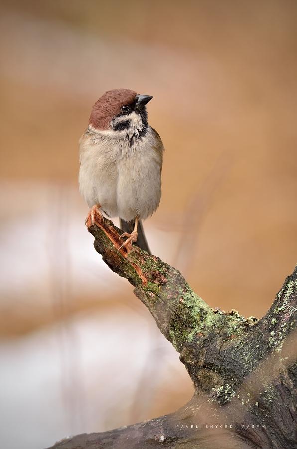 vrabec domácí / passer montanus