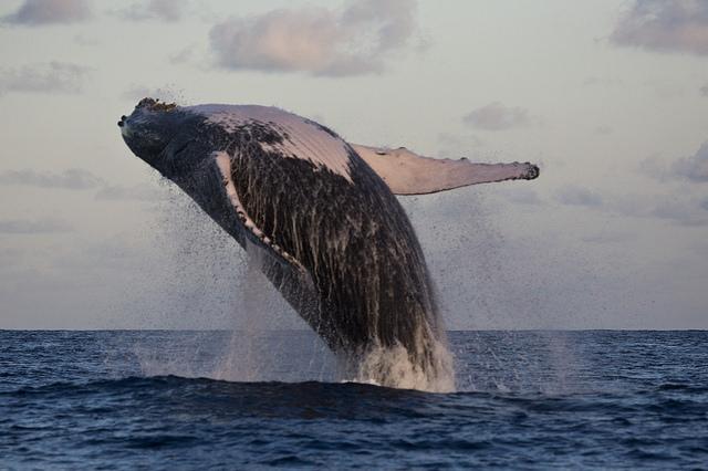 abrolhos_baleia