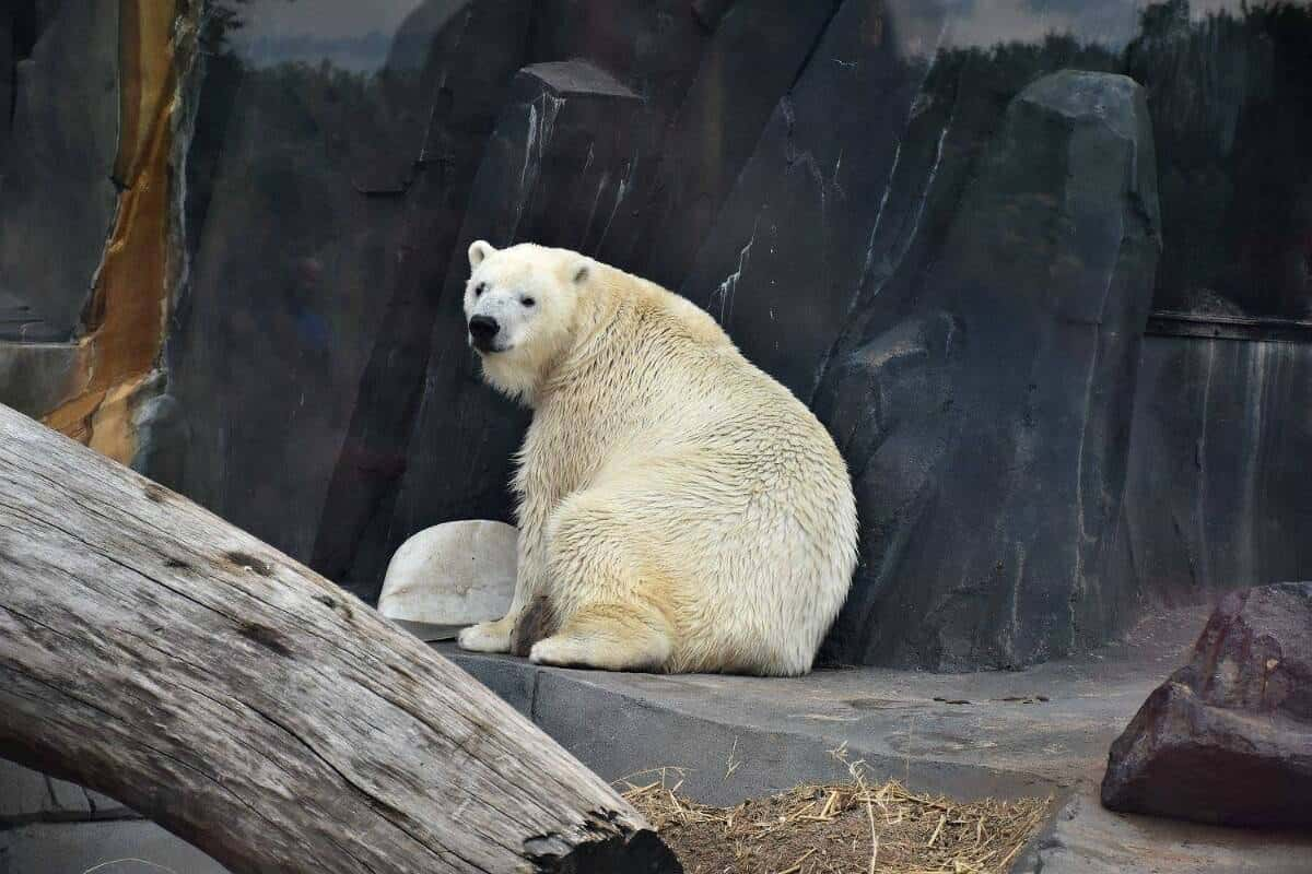 Polar Bear, St. Louis Zoo