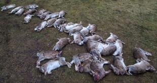 Une petite île écossaise va abattre des milliers de lapins