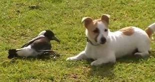 Vidéo : un chien et une pie, d'improbables meilleurs amis