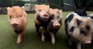 Vidéo : course-poursuite avec des cochons nains !