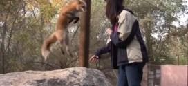 Vidéo : ce renard fait des bonds contre des friandises