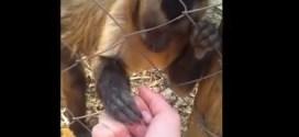 Vidéo: un singe apprend à un humain à écraser des feuilles