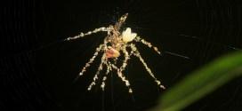 Cette araignée utilise des cadavres d'insectes pour se dupiquer