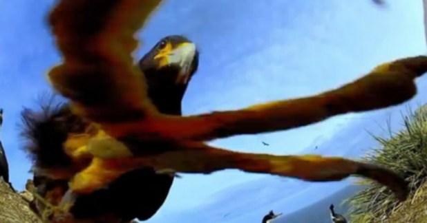 Un rapace vole une caméra puis filme des manchots pour la BBC