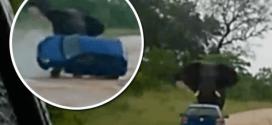 Vidéo choc : un éléphant retourne une voiture