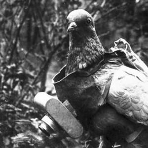 Pigeon équipé d'un appareil photographique.