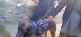 """""""Colonel"""", chien de guerre, capturé par les talibans"""