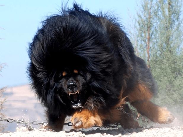 Un dogue tibétain enragé...