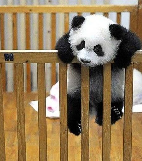ce-panda-ferait-tout-pour-retrouver-sa-liberte-y-compris-grimper-une-barriere_124510_w460