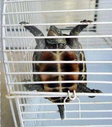 on-ne-le-savait-pas-mais-les-tortues-savent-aussi-grimper-aux-barreaux_124511_w460