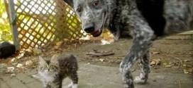 Vidéo : un chien ami avec un chaton handicapé
