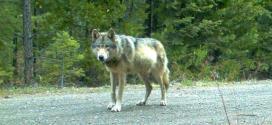 Un loup marche des milliers de kilomètres pour trouver l'amour