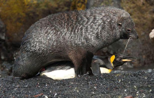 Les otaries violent les manchots en Antarctique