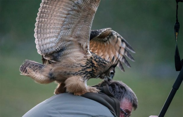 owl-lands-on-head-netherlands-noordeinde-5