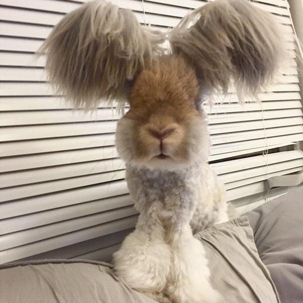 haircut-rabbit-angora-wally-6