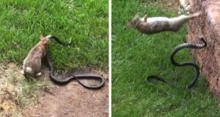 Une lapine combat un gros serpent pour protéger ses petits