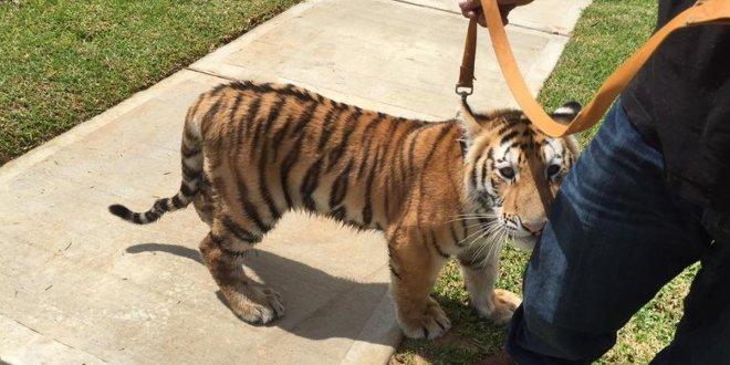 Il y a désormais plus de tigres «de compagnie» aux USA que de tigres sauvages dans le monde
