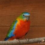 perruche turquoisine