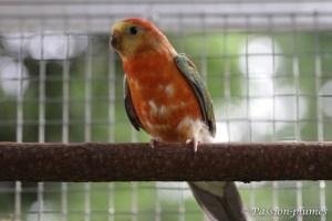 perruche croupion rouge