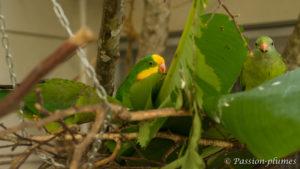 barraband superb parrot