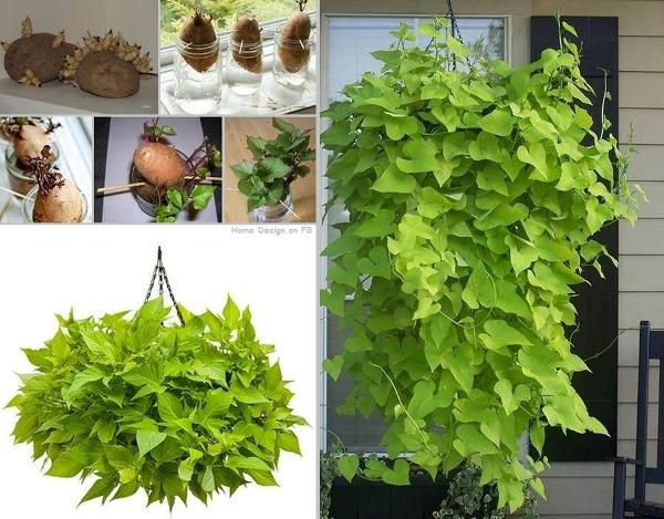 Hanging Ivy Indoors