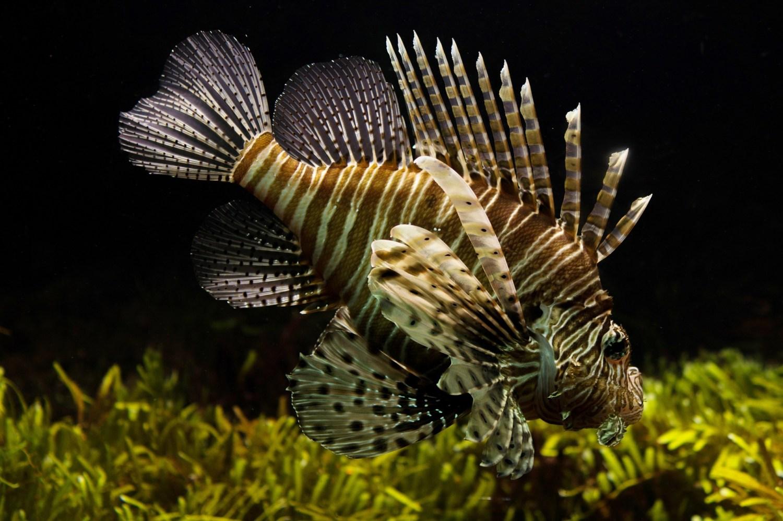 lionfish-711799_1920