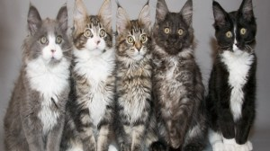 foto_maine coon