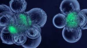 foto_cellule_staminali