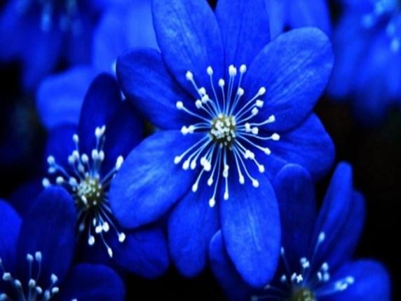 Foto fiori blu