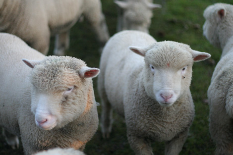 Somerset sheep