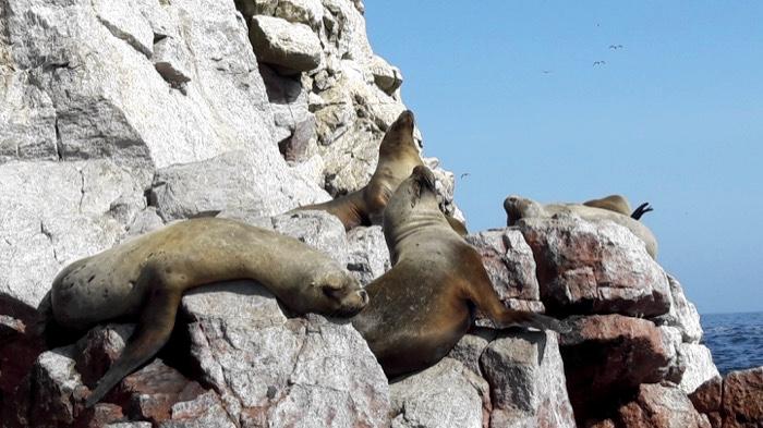 4-ballestas-island-sea-lions